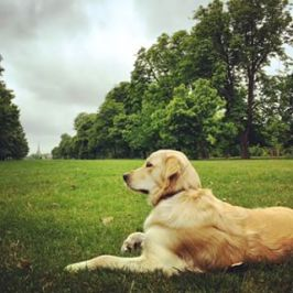 Pearl relaxing on lush lawn