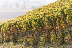 Saint-Emilion Vineyards