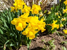Daffodils are everywhere in Nantucket during the spring season
