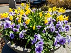 Spring bloom in Nantucket