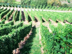 Steep Vineyards on the Mosel. Image Courtesy: Vindscape