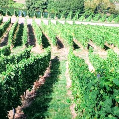Steep Vineyards on the Mosel. Image Courtesy: Vindscape